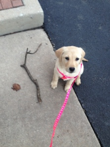 Millie likes to bring souvenirs home from our walks...today was a stick and a leaf!